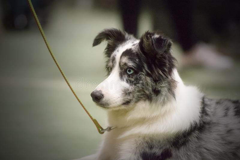 Portrait of a beautiful Border Collie ready for an agility contest royalty free stock images