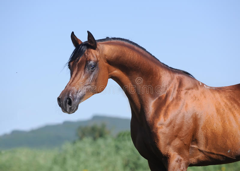 Download Portrait Of Beautiful Brown Arabian Horse Stock Image - Image of outdoors, domestic: 15882681