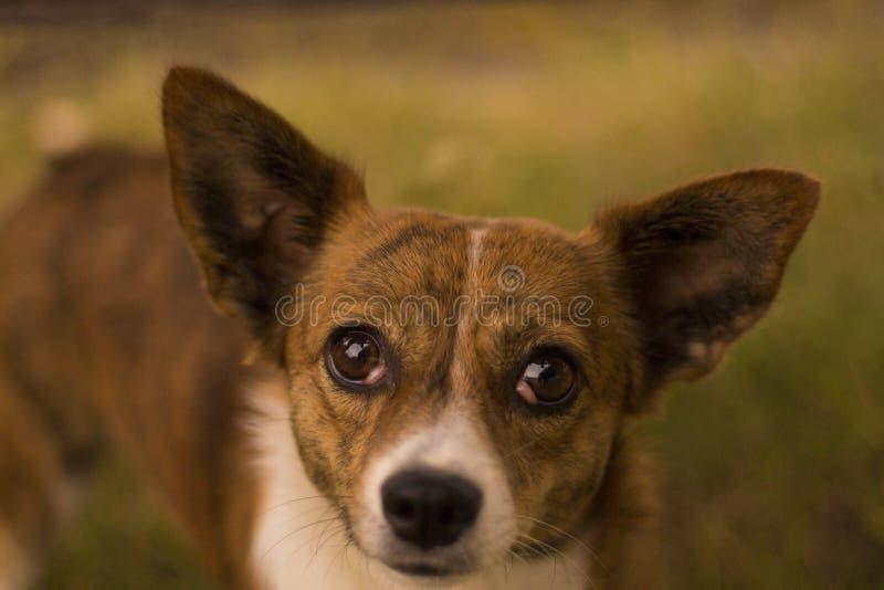 Portrait of brown Corgi stock photo