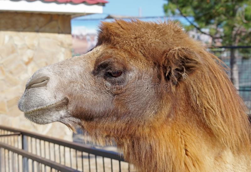 Portrait of the beautiful camel in zoo royalty free stock photos