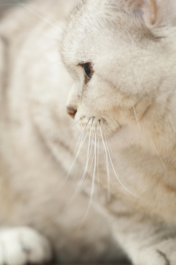 Portrait Of Beautiful Cat Royalty Free Stock Photos