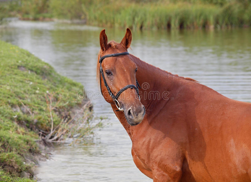 Portrait of beautiful chestnut horse royalty free stock photography