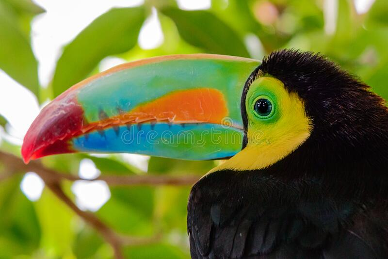 Portrait of the beautiful coloured Keel billed toucan, ramphastos sulfuratus. Profile portrait of the beautiful coloured Keel billed toucan, ramphastos royalty free stock images