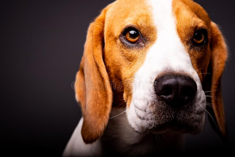 Portrait of beautiful dog with big eyes, nose and long ears. Black background royalty free stock photography