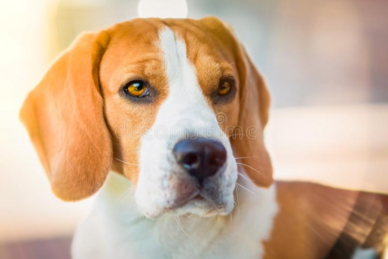 Portrait of beautiful dog with big eyes, nose and long ears stock photos