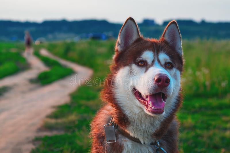 Portrait beautiful dog in nature landscape. royalty free stock photography