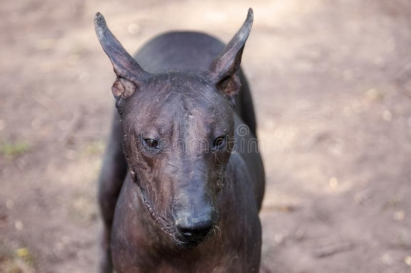 The portrait of a beautiful dog of rare Xolotizcuintle breed, or mexican hairless one. Standard size, front view, close up head wi stock images