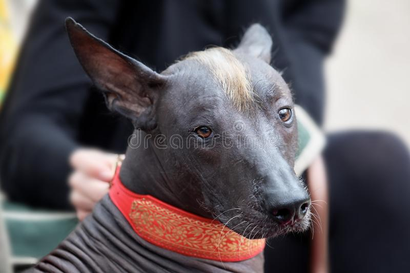The portrait of a beautiful dog of rare xolotizcuintle breed, or mexican hairless one, of standard size. Dog watches to the camera. With clever serious look royalty free stock images