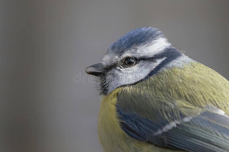 Portrait of a beautiful Eurasian Blue Tit Cyanistes caeruleus in the forest of Huizen, Noord Holland in the Netherlands. Portrait of a beautiful Eurasian Blue royalty free stock images