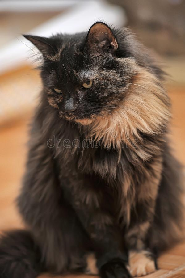 Portrait of a beautiful female cat royalty free stock photos