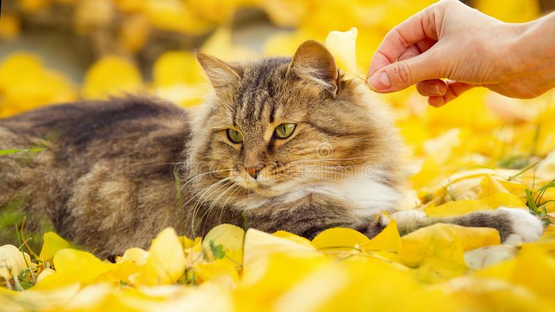 Portrait of a beautiful fluffy cat lying on the fallen yellow foliage , girl hand put leaf on animal head, pet walking on nature stock image