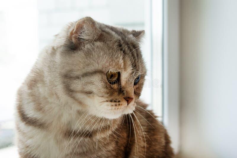Portrait of beautiful fluffy gray tabby Scottish fold cat. Portrait of beautiful fluffy gray tabby Scottish fold cat near to the window stock images