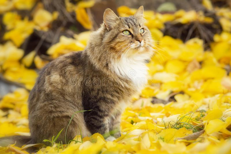 Portrait of a beautiful fluffy cat sittng on the fallen yellow foliage looking up, playful pet walking on nature in the autumn. Portrait of a beautiful fluffy royalty free stock photos