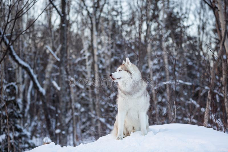 Portrait of beautiful and free siberian Husky dog standing on the hill in the fairy winter forest stock photos