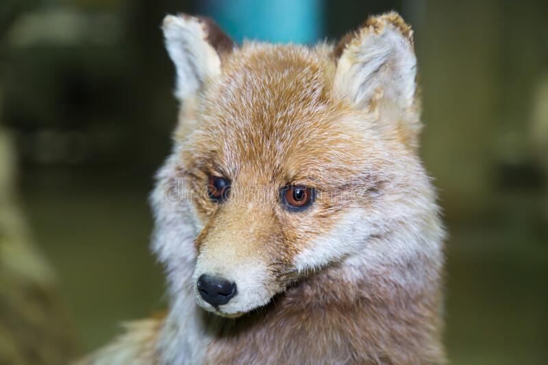 Portrait of a beautiful furry predator Transcaucasian red Fox Vulpes vulpes with a nice coat on a dark background, stuffed. Animals, mammals royalty free stock images