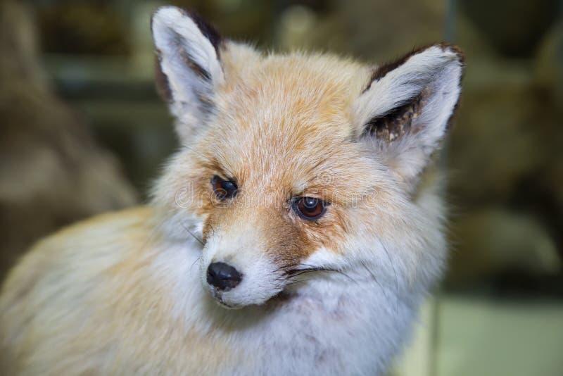 Portrait of a beautiful furry predator Turkestan red Fox Vulpes vulpes with a nice coat on a dark background, stuffed. Animals, mammals stock image