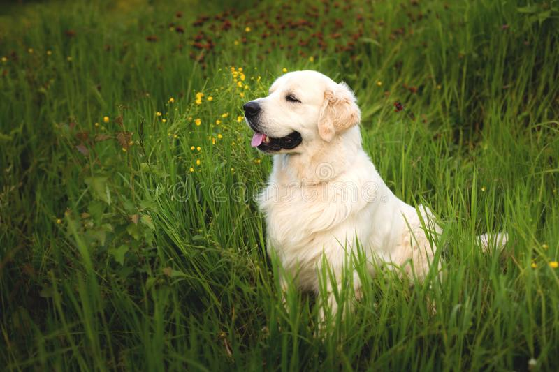 Portrait of beautiful golden retriever dog sitting in the green grass and buttercup flowers stock photo