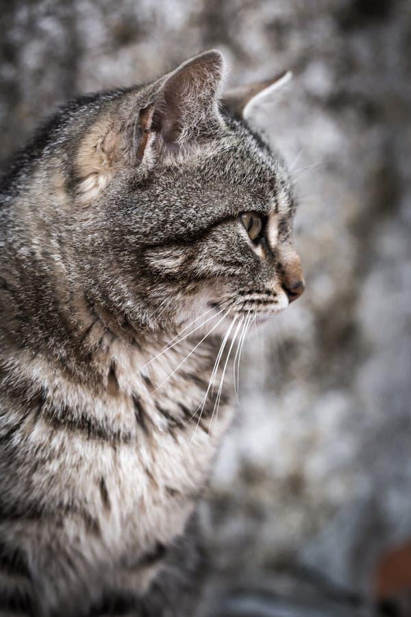 Portrait of beautiful gray cat close up. royalty free stock photos