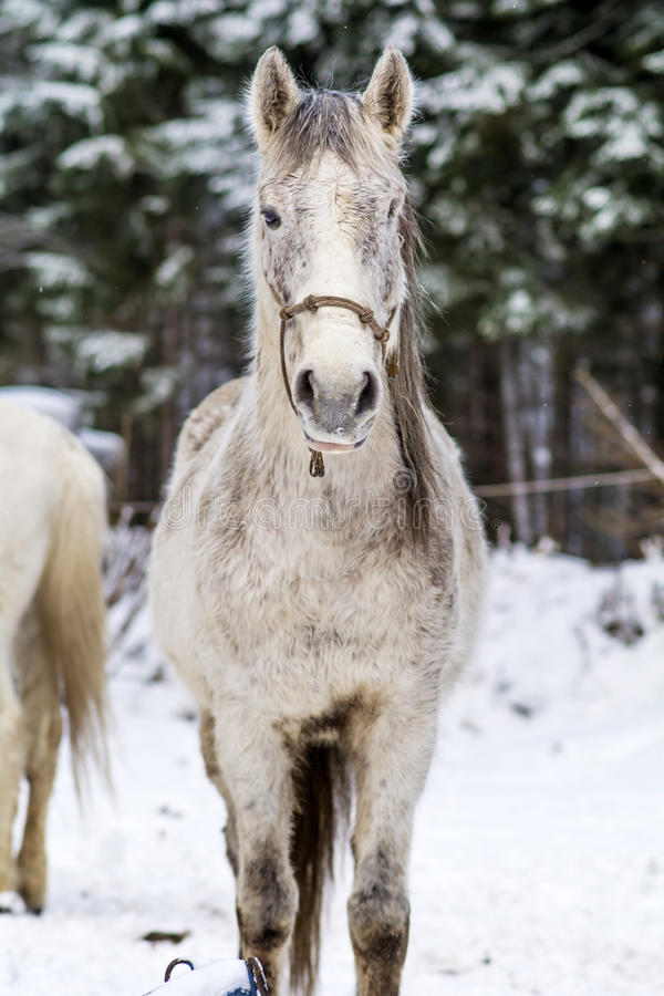 Portrait of beautiful gray horse in the winter mountain stock photos