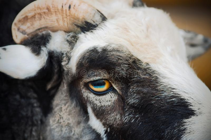Portrait of a sheep with yellow-blue eyes. Portrait of a beautiful gray sheep with curly hair, short horns and yellow-blue eyes royalty free stock photo