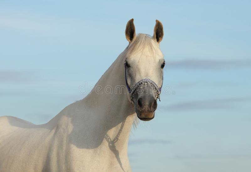 Portrait of a beautiful grey arabian horse royalty free stock images