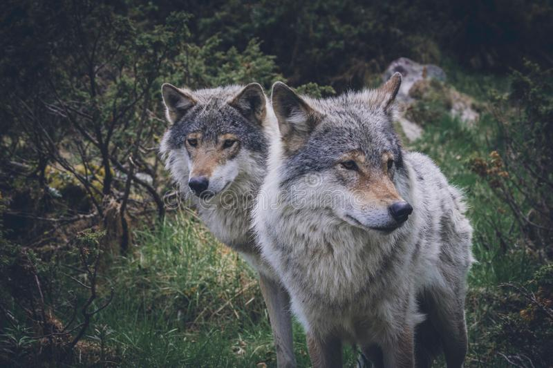Portrait of a beautiful grey wolves/canis lupus outdoors in the wilderness royalty free stock images