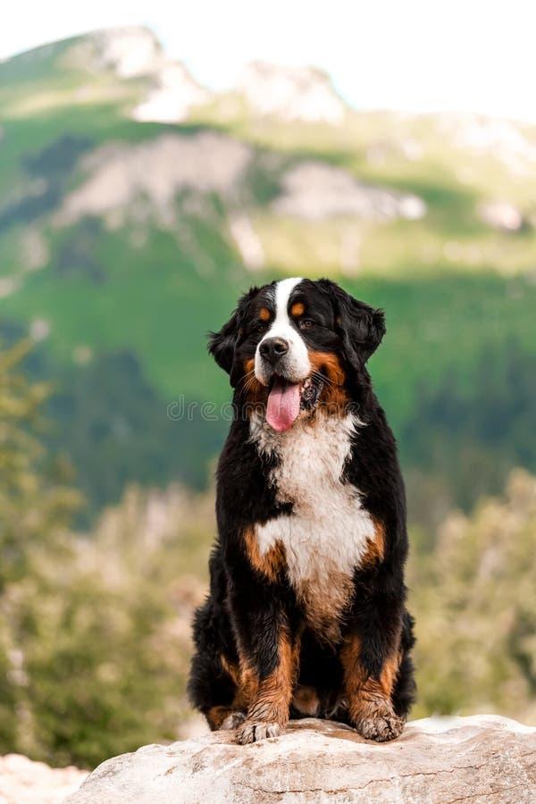 portrait beautiful happy Bernese mountain dog sit on ground . rock on background royalty free stock photo