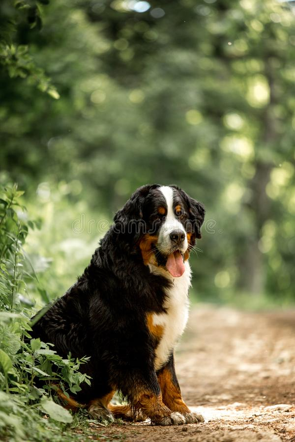 portrait beautiful happy Bernese mountain dog sit on road. green forest on background stock photo