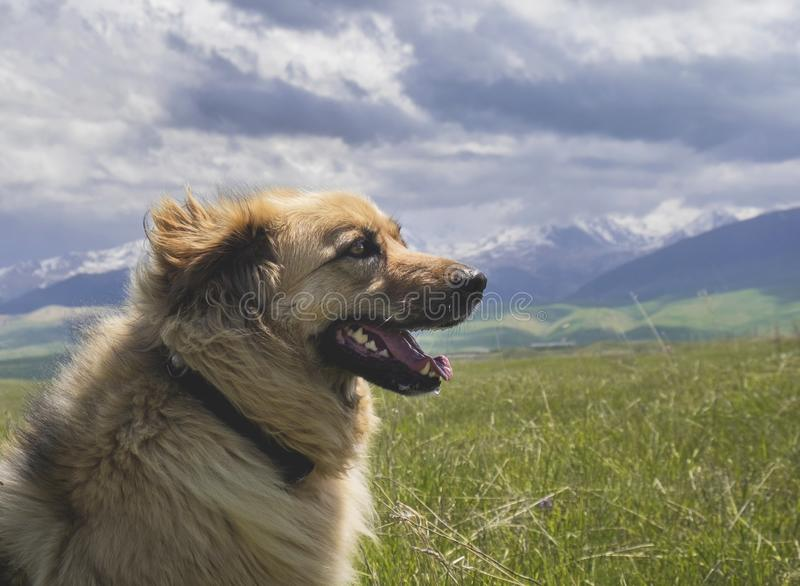 Portrait of the beautiful happy dog on the mountains background. Wind blowing into the face stock photo