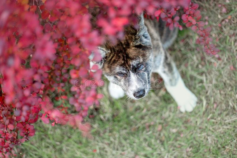 portrait beautiful happy Japanese Akita dog lay on ground in flowers . green on background stock images