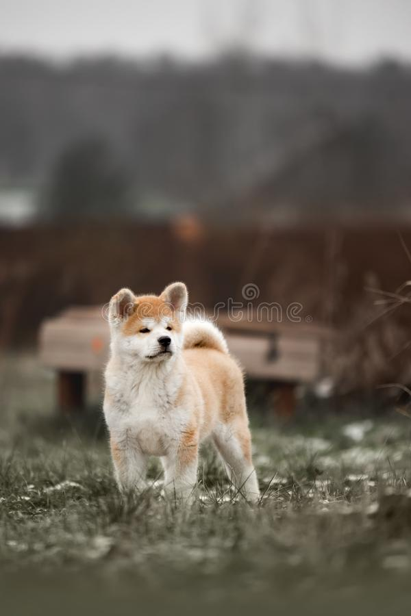Portrait beautiful happy Japanese Akita dog puppy run. green forest on background royalty free stock photo