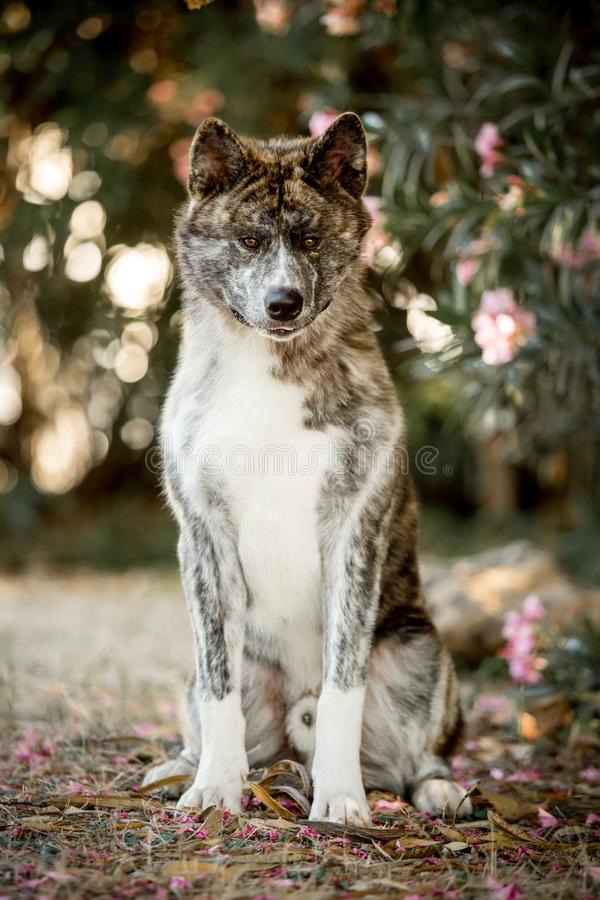 portrait beautiful happy Japanese Akita dog siton ground . green forest on background stock photography