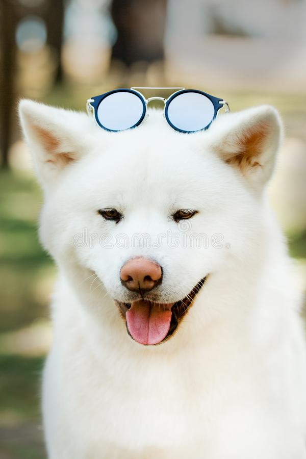 portrait beautiful happy Japanese Akita dog with sunglasses. green forest on background stock photo