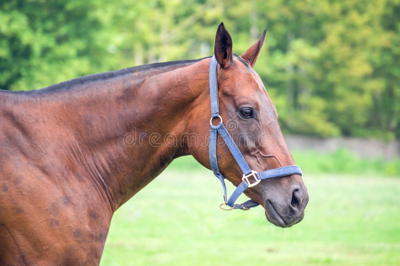 Portrait of beautiful horse with rope halter royalty free stock photos