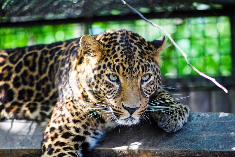 Portrait of a beautiful leopard stock images