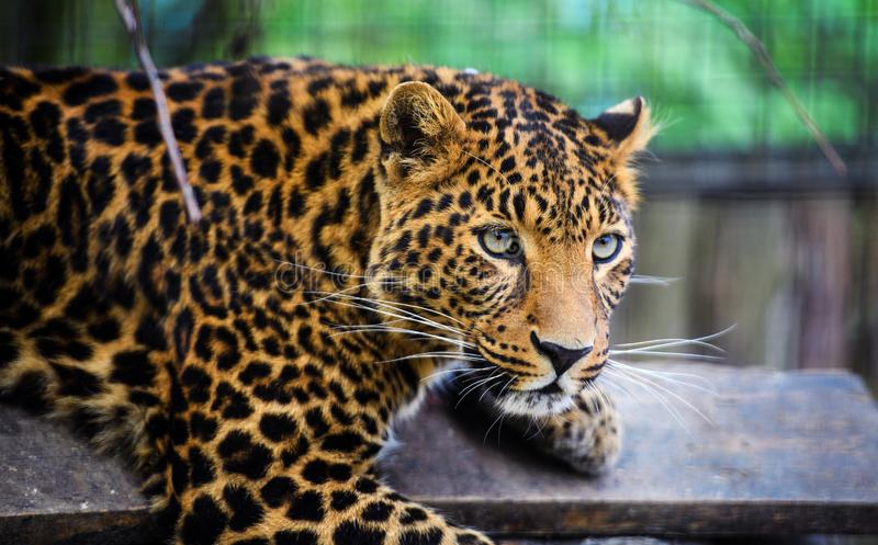 Portrait of a beautiful leopard stock photos