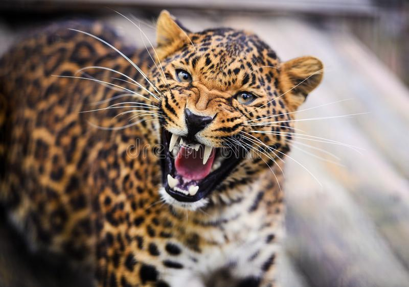 Portrait of a beautiful leopard royalty free stock photography
