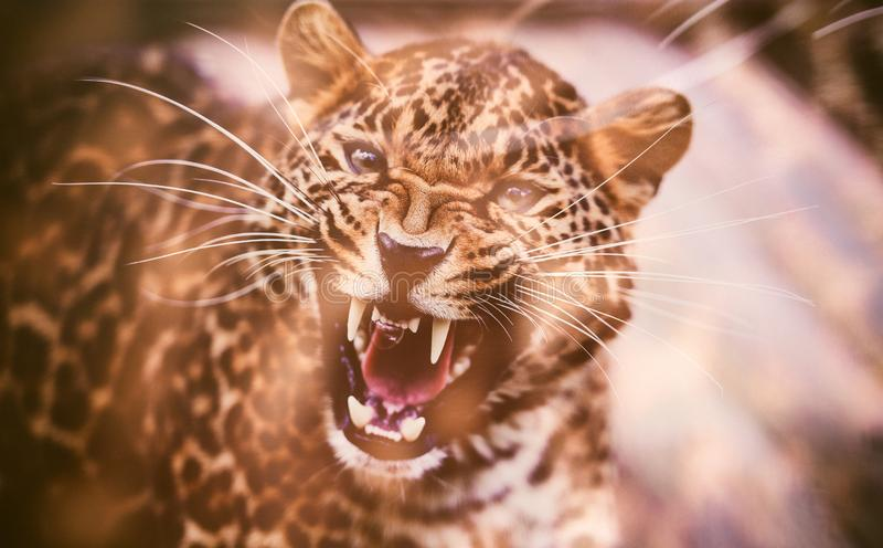 Portrait of a beautiful leopard. Angry leopard royalty free stock photo