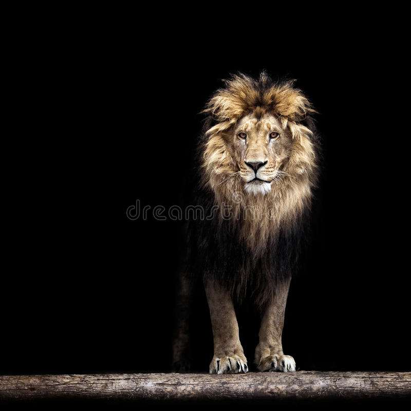 Portrait of a Beautiful lion. Lion in the dark royalty free stock photos