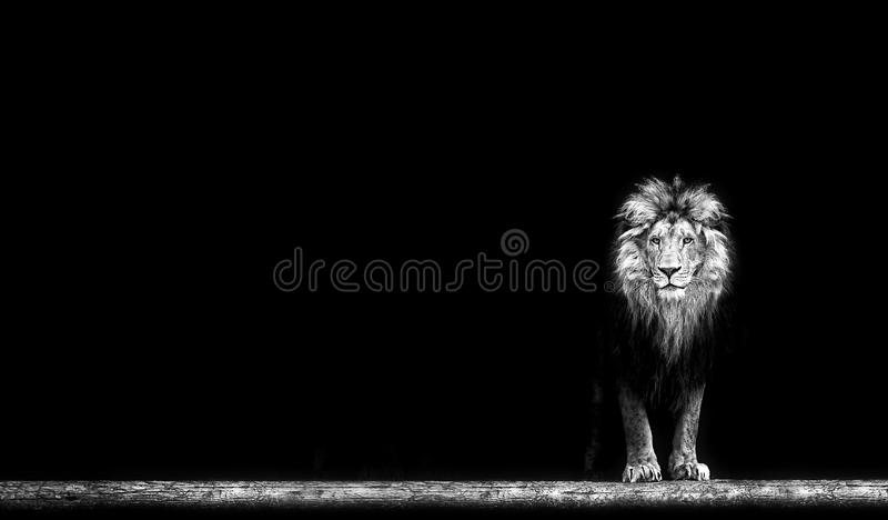Portrait of a Beautiful lion, lion in dark. Portrait of a Beautiful lion, lion in the dark royalty free stock photography