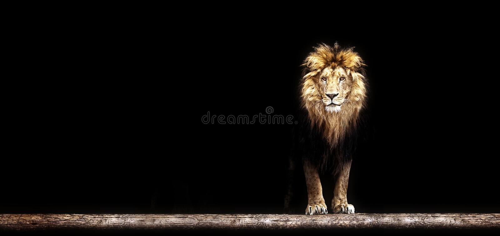 Portrait of a Beautiful lion, lion in dark. Portrait of a Beautiful lion, lion in the dark royalty free stock image