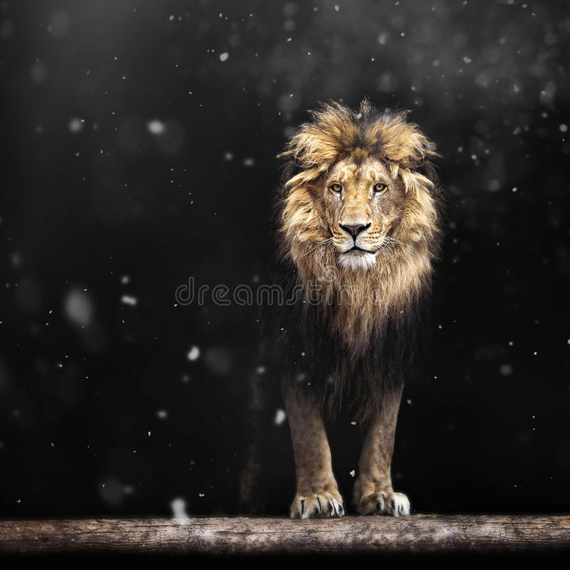Portrait of a Beautiful lion, lion in the snow. Portrait of a Beautiful lion, lion in the dark and snow stock photo