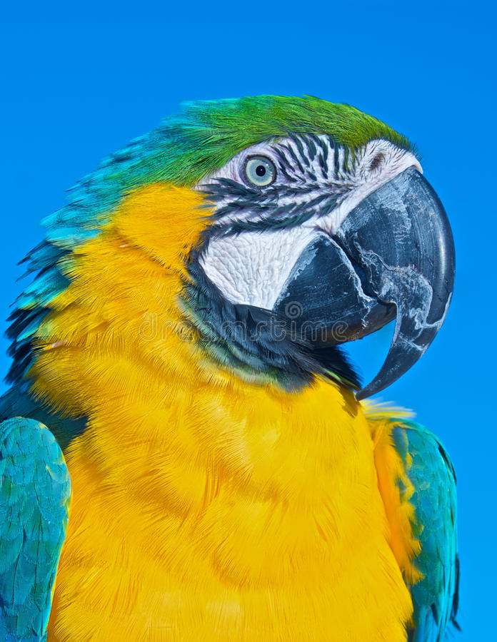 Portrait of a Beautiful Macaw Parrot stock image