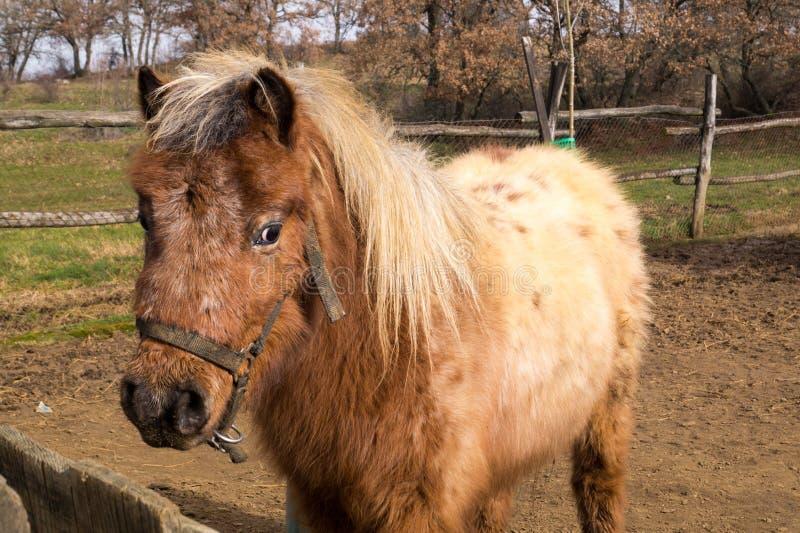 Portrait of beautiful minishetland stallion. Greece royalty free stock images