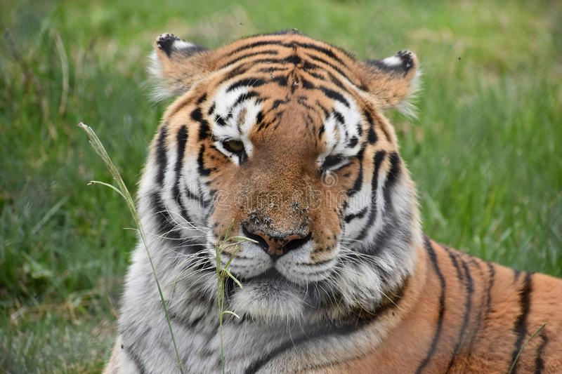 Portrait of a beautiful Sibirian Tiger in South Africa. Portrait of a beautiful orange striped Sibirian Tiger in South Africa royalty free stock images