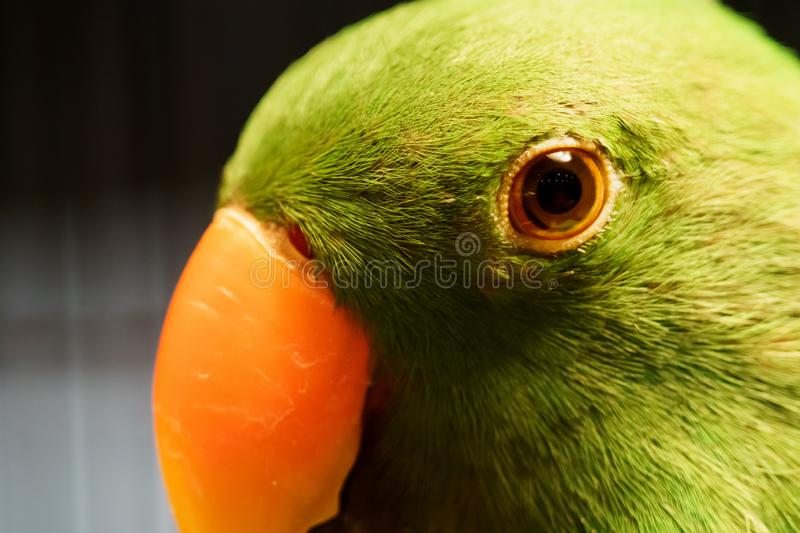 Portrait of Beautiful parrot standing closed up face stock photography