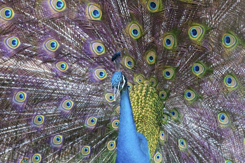 Peacock. Portrait of beautiful peacock with feathers out stock photography