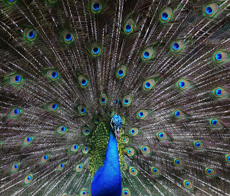 Portrait Of Beautiful Peacock Royalty Free Stock Photo