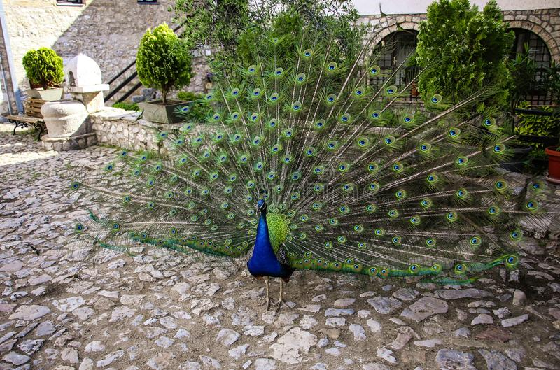 Portrait of beautiful peacock with spreading its tail stock images