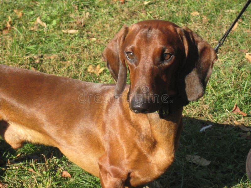 portrait of a beautiful pet cute smart dog breed dachshund royalty free stock image